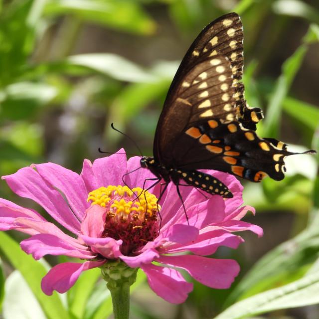 """Black Swallowtail on Pink Zinnia - 2 of 3"" stock image"