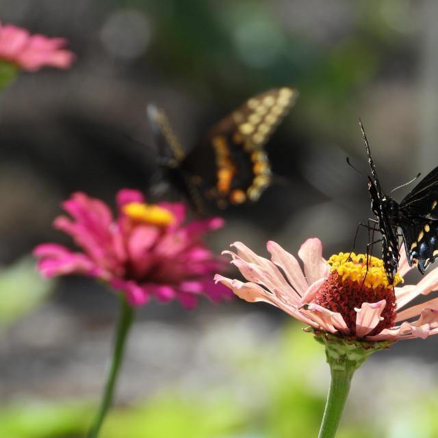 """Black Swallowtail on Pink Zinnia - 3 of 3"" stock image"