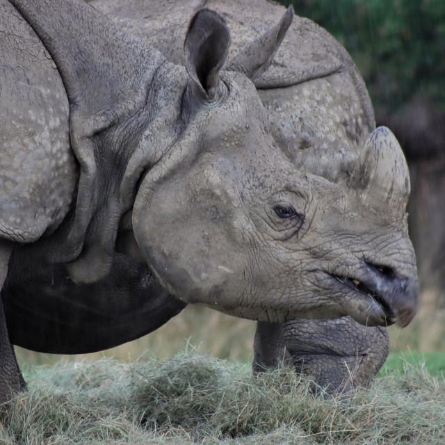 """Greater One Horned Rhinoceros"" stock image"