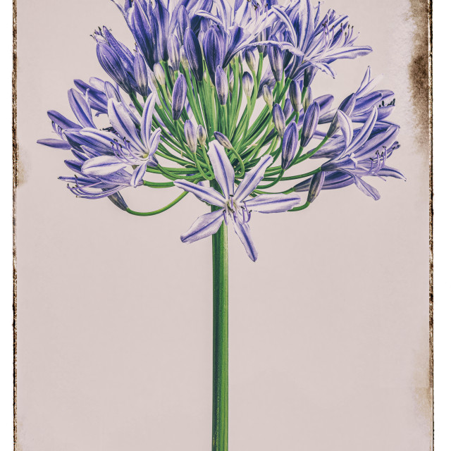 """""""AGAPANTHUS LILY OF THE NILE"""" stock image"""