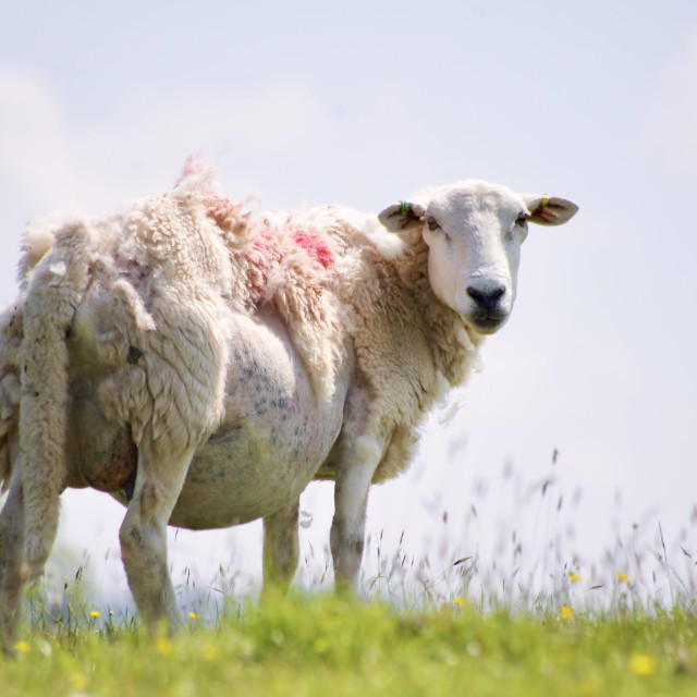 """Sheepish"" stock image"