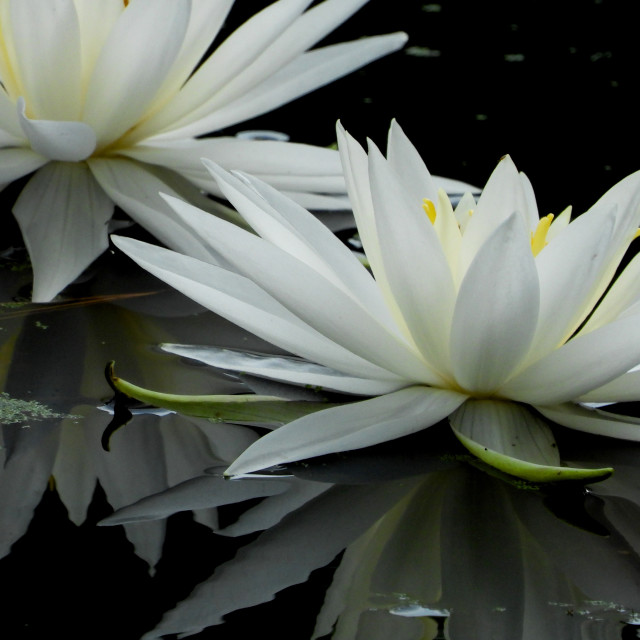 """White Waterlilies Series - Image 55"" stock image"