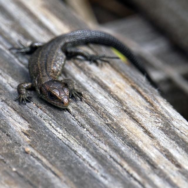 """A Common Lizard, Handa Island, Scottish Highlands"" stock image"