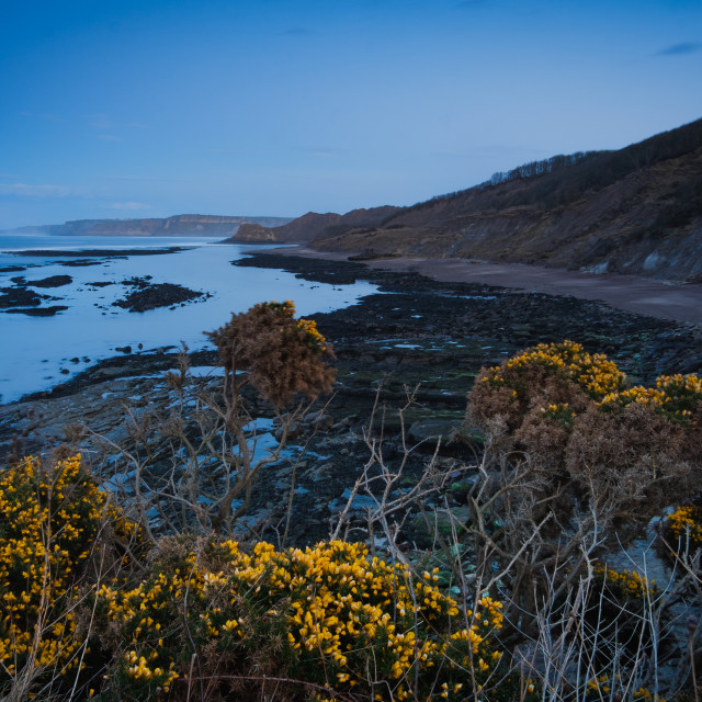 """""""Wild gorse and Blue Hour at Cornelian Bay, North Yorkshire"""" stock image"""