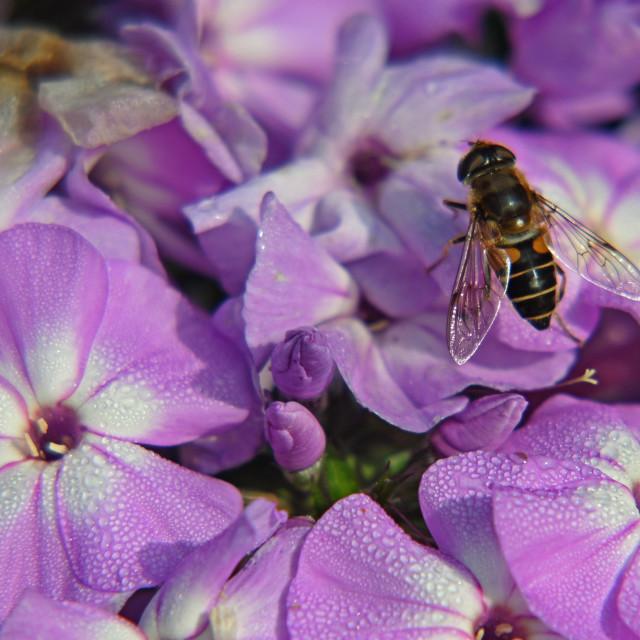 """Hoverfly on Purple Phlox"" stock image"