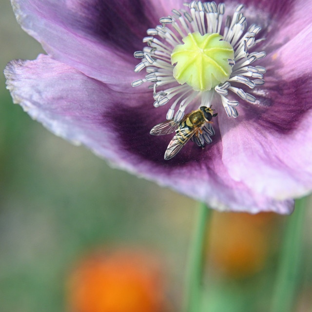 """""""Hungarian blue bread seed poppy"""" stock image"""