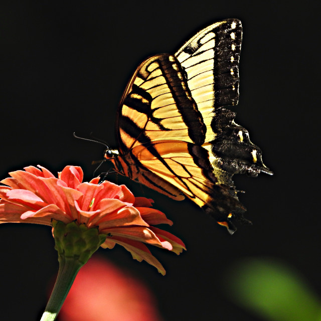 """""""Yellow Swallowtail Butterfly Silhouette"""" stock image"""