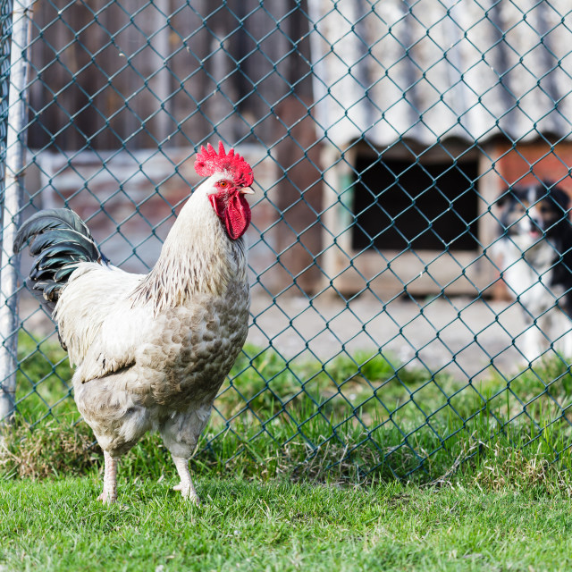 """""""Rooster on backyard against fence and dog, countryside"""" stock image"""