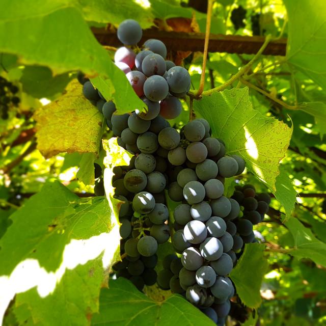 """Wine grapes"" stock image"