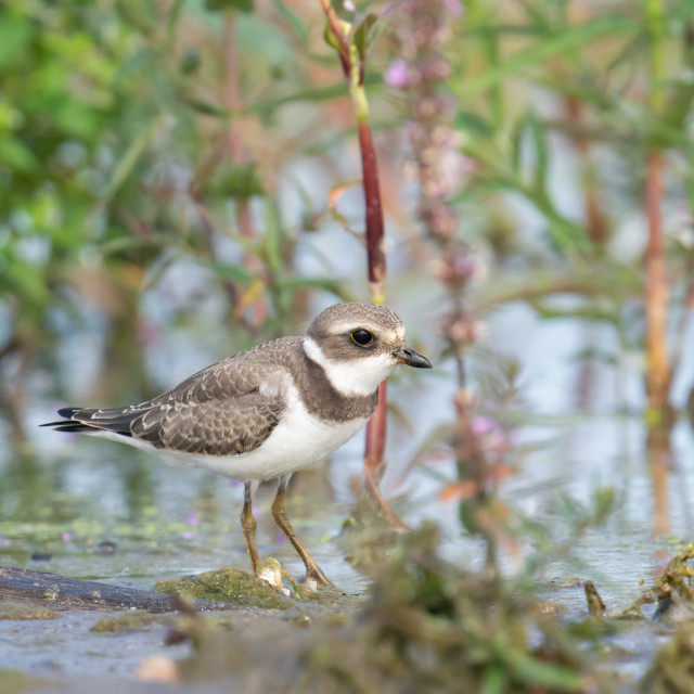 """""""Juvenile Semipalmated Plover with Purple Loosestrife"""" stock image"""
