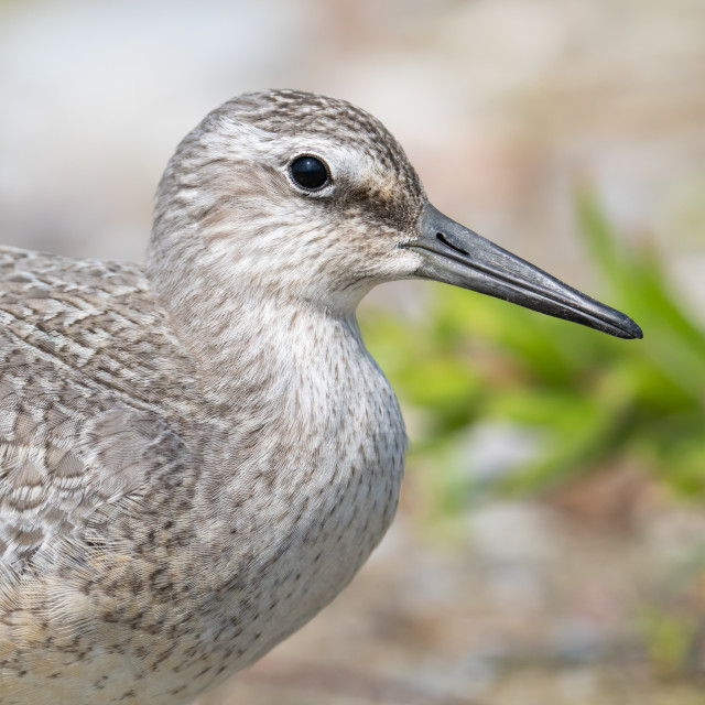 """""""Portrait of an Endangered Red Knot"""" stock image"""