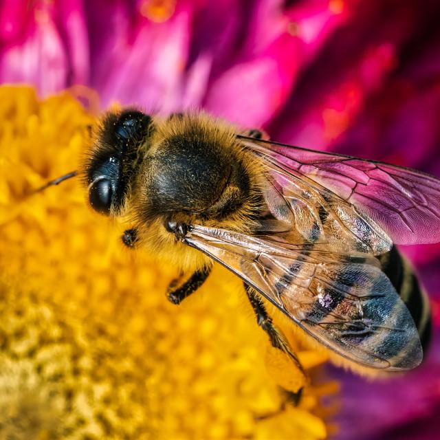 """Honey bee in macro."" stock image"