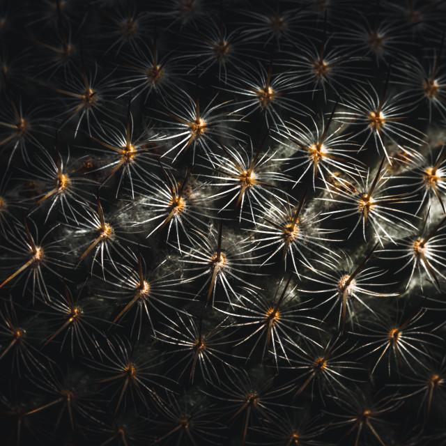 """Rainbow Pincushion Cactus."" stock image"