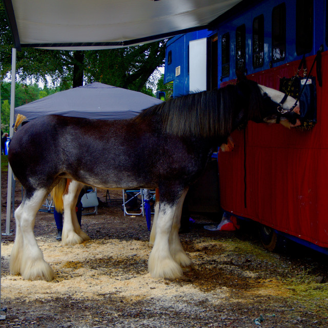 """""""Clydesdale Horse"""" stock image"""