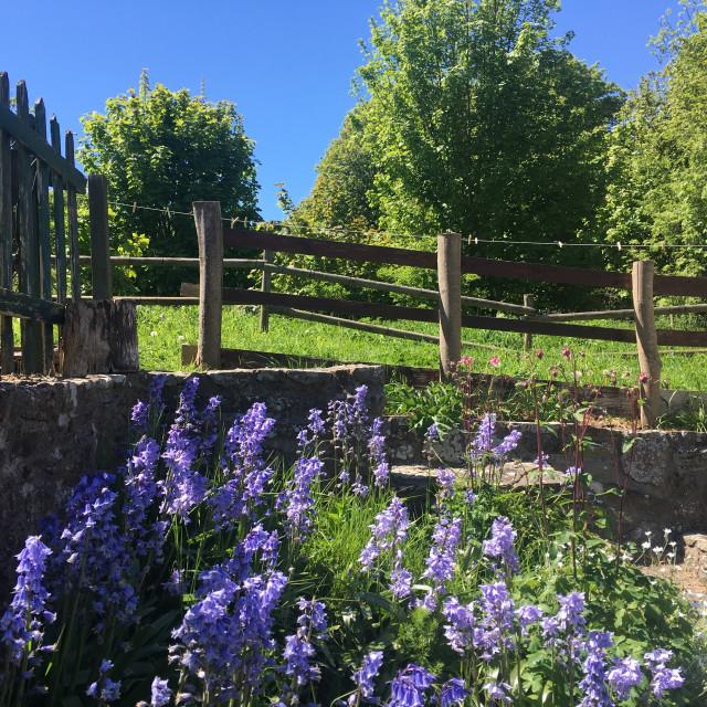 """""""Bluebell Garden"""" stock image"""