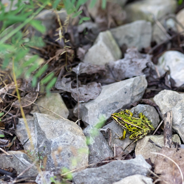 """""""Green northern leopard frog on gravel stones"""" stock image"""