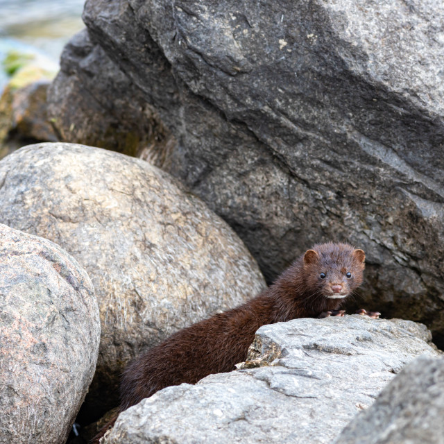 """""""Mink peeking out from behind a rock"""" stock image"""