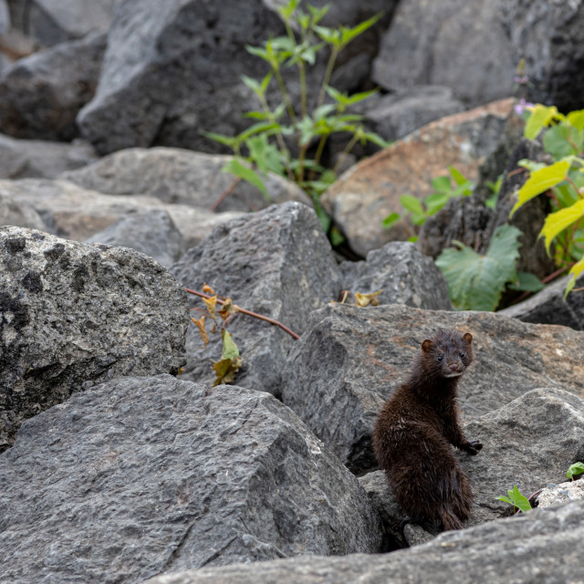 """""""Cute American mink looking back curiously"""" stock image"""