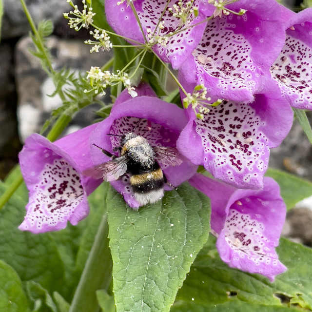 """Bumblebee in Foxglove Flower, Grassington, Yorkshire Dales."" stock image"