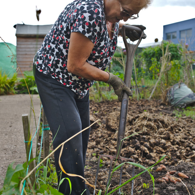 """""""A woman working at her allotment"""" stock image"""