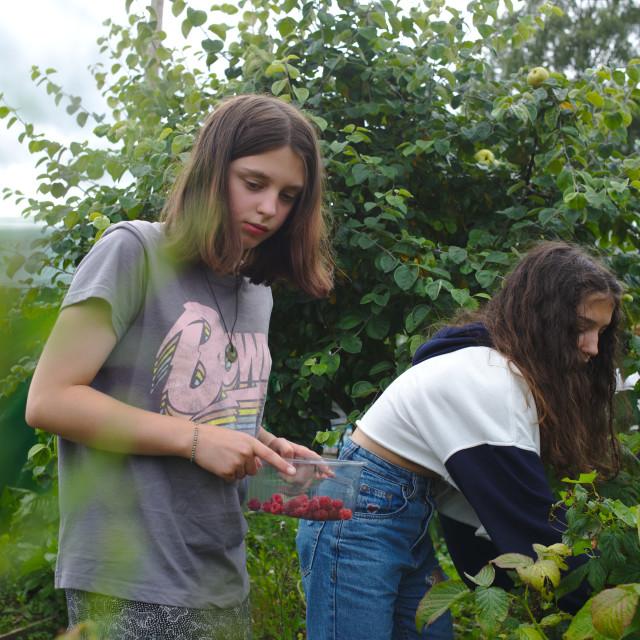 """""""Sisters picking raspberries"""" stock image"""