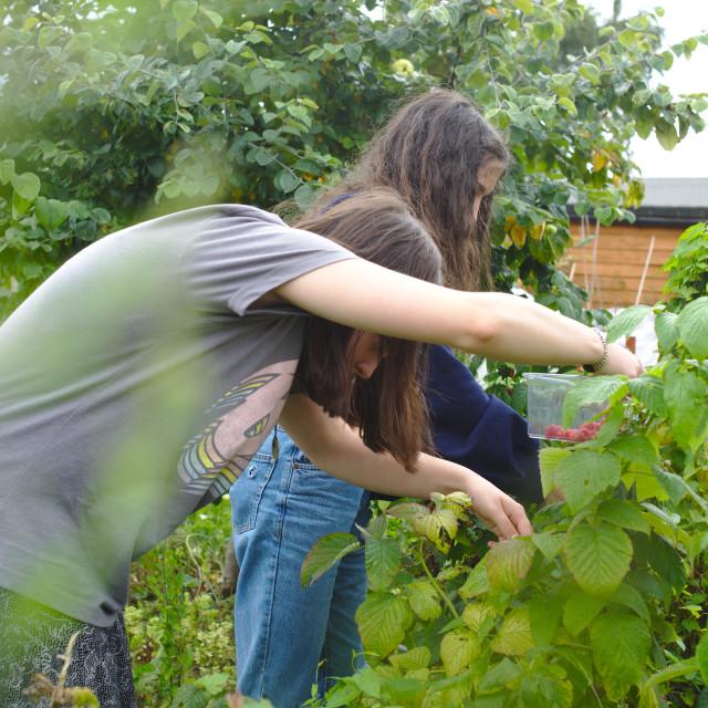 """Two girls picking raspberries"" stock image"
