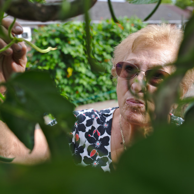 """""""Older woman at her allotment picking french beans"""" stock image"""