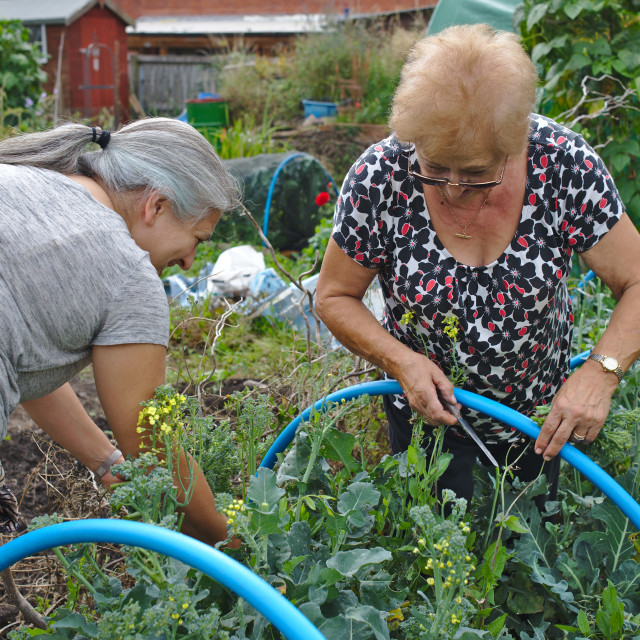 """""""Mother and adult daughter together at vegetable garden allotment"""" stock image"""
