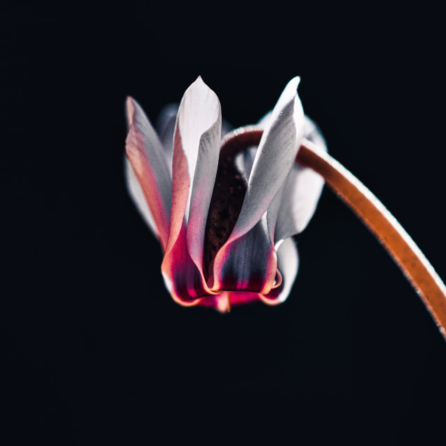 """""""Ivy-leaved cyclamen."""" stock image"""