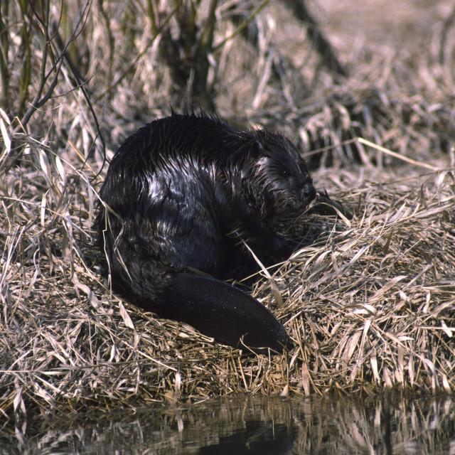 """""""Wet Beaver on shore"""" stock image"""