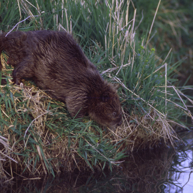 """Beaver on shore"" stock image"