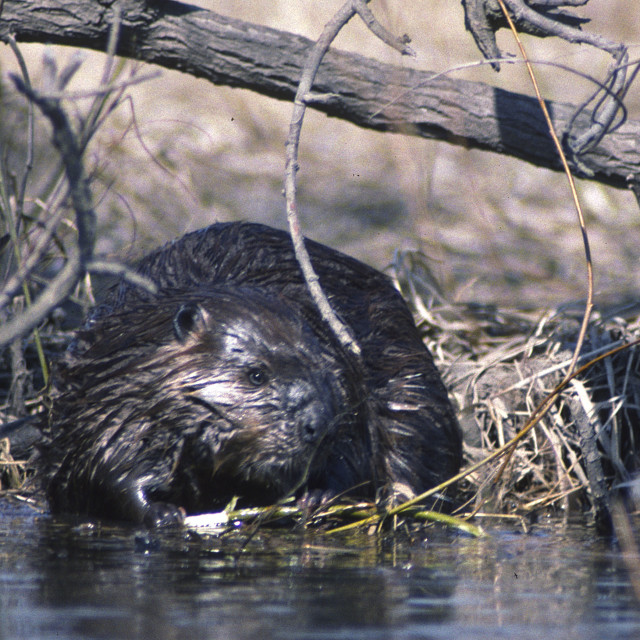 """""""Beaver and stick"""" stock image"""