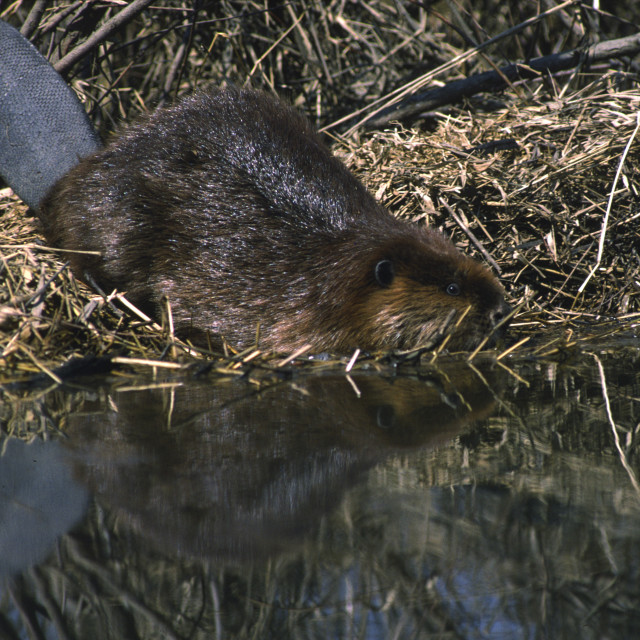 """""""Beaver goes in the water"""" stock image"""