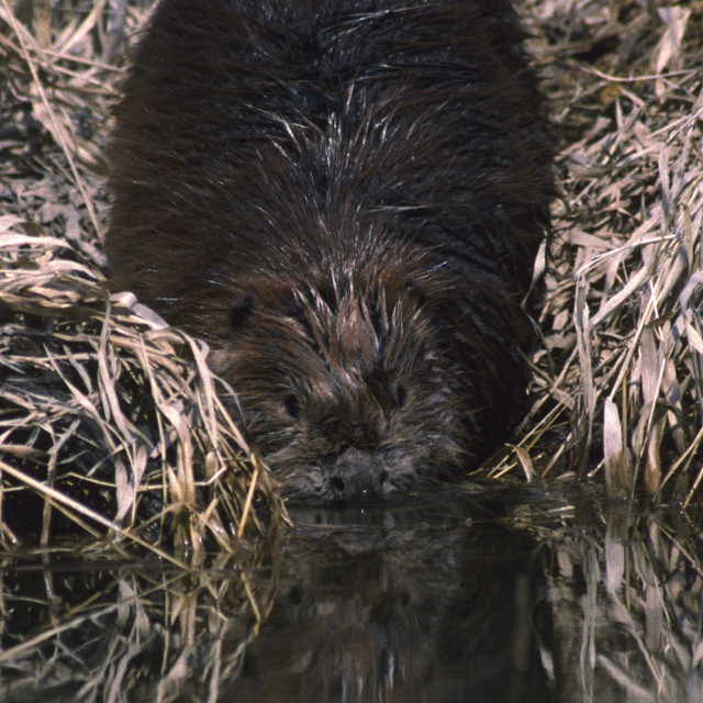 """""""Beaver goes in water"""" stock image"""