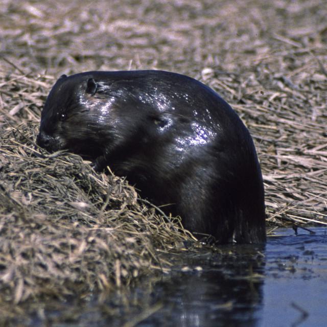 """Beaver climbs ashore"" stock image"