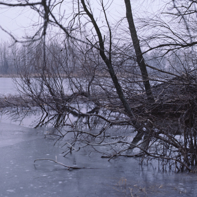 """""""Beaver lodge with winter food supply 408-1 drive 1"""" stock image"""