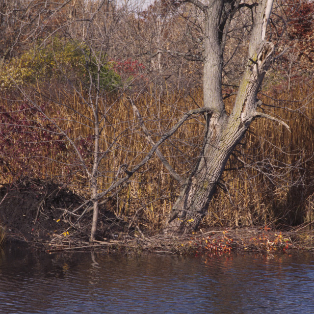 """""""Beaver lodge with winter food supply 2055-14"""" stock image"""