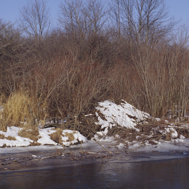 """""""Beaver lodge with winter food supply 2605-34"""" stock image"""