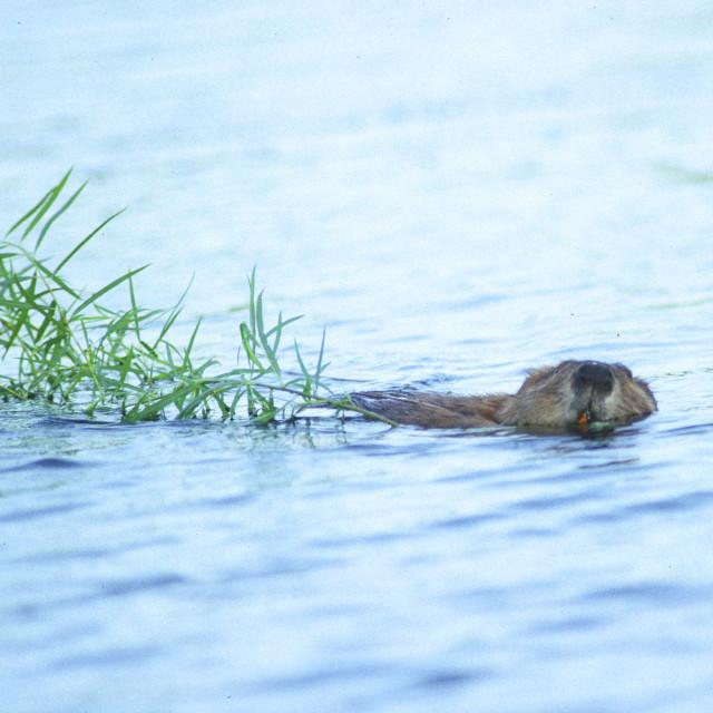 """Beaver pulls branch"" stock image"