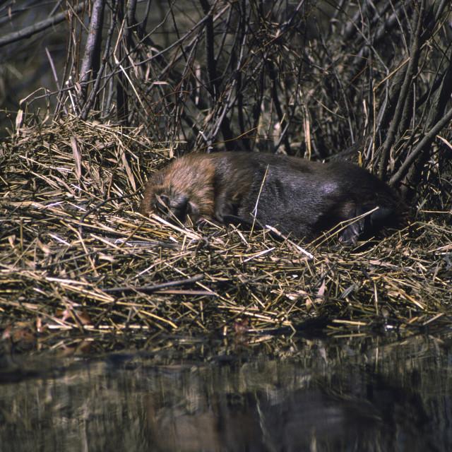 """Beaver sleeps on shore"" stock image"