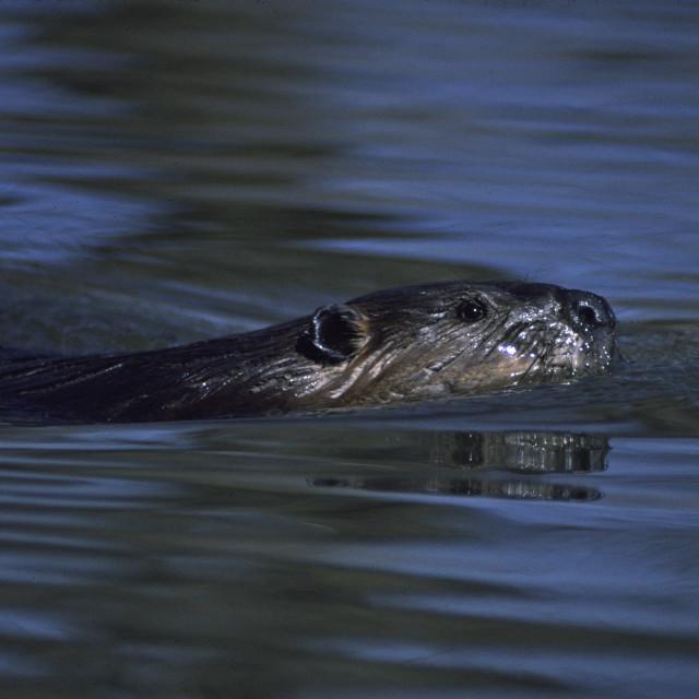 """Beaver swims"" stock image"
