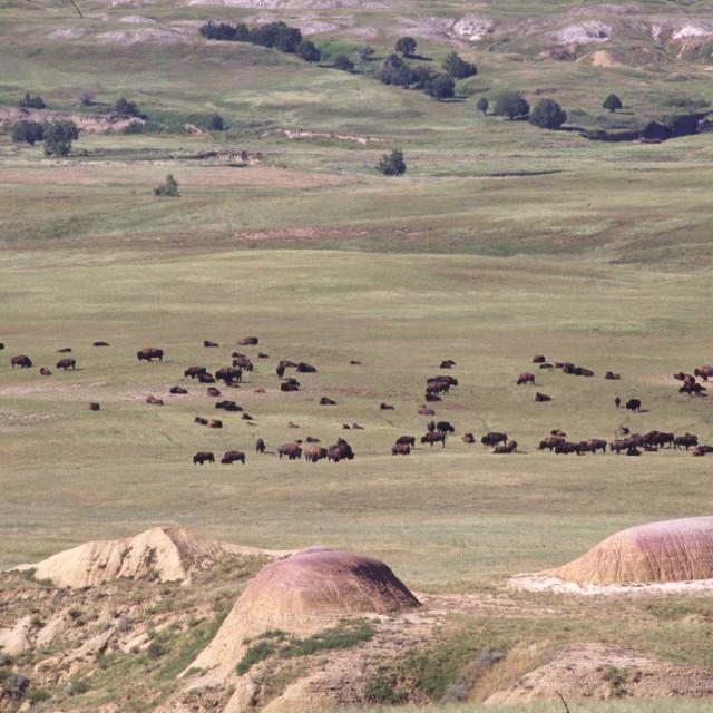 """Bison in the Badlands"" stock image"