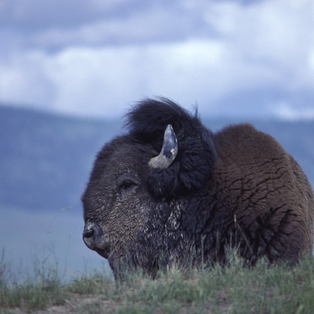 """""""Big bull Bison on hill"""" stock image"""