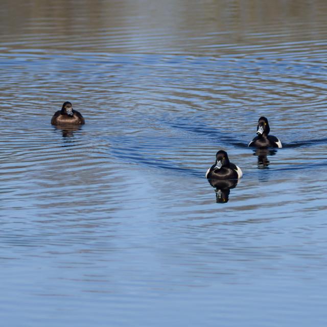 """Tufted Ducks"" stock image"