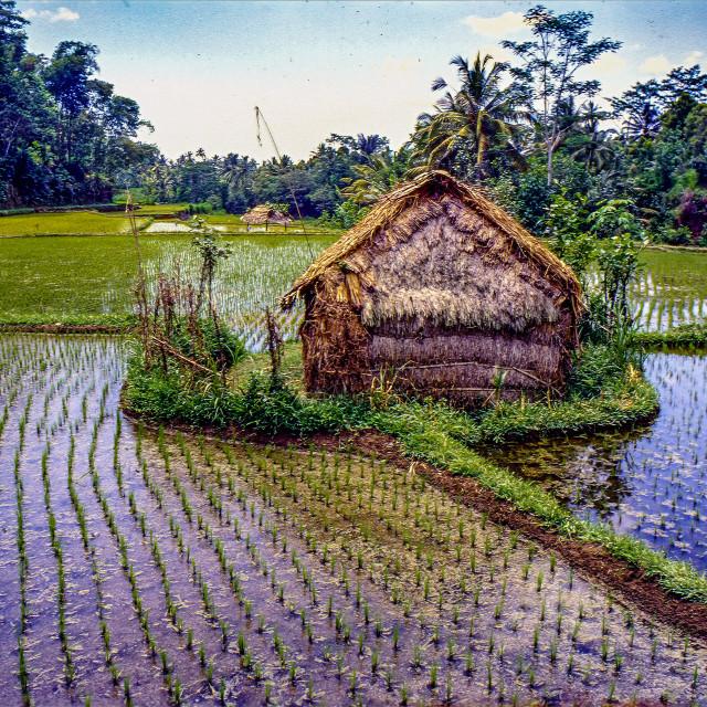 """""""Rice paddy & hut"""" stock image"""