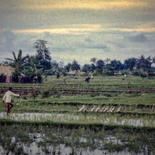 """Balinese farmer with ducks"" stock image"