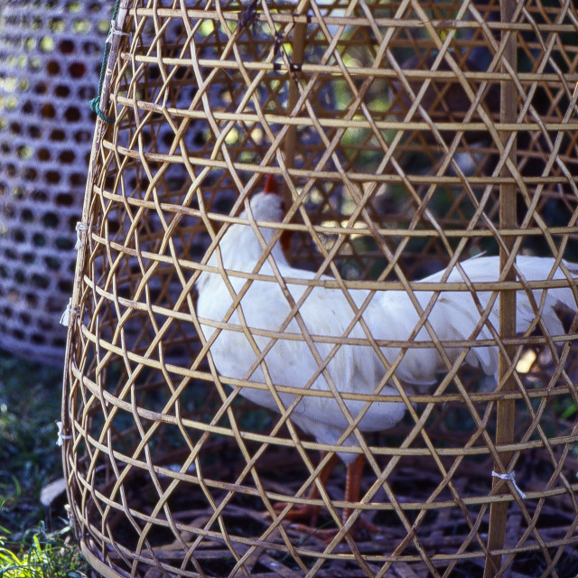 """""""Rooster in wicker cage"""" stock image"""