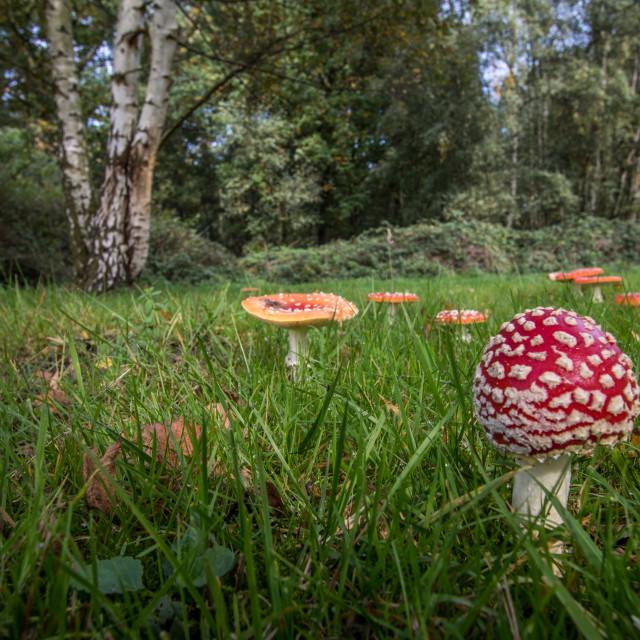 """Amanita mushroom,fly agaric (amanita muscaria)"" stock image"