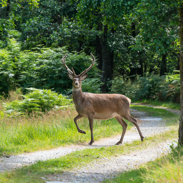 """""""Highland stag"""" stock image"""