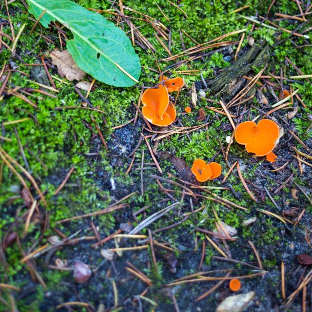 """Orange Peel Fungus"" stock image"